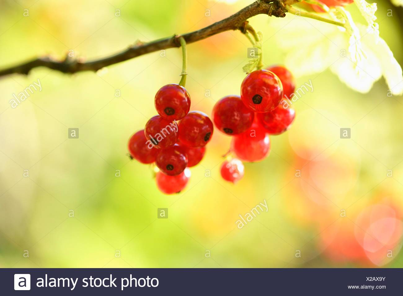 Red currants on twig - Stock Image