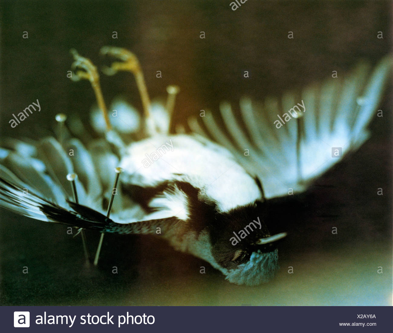 Dead Eastern bluebird (Sialia sialis) pinned to a table - Stock Image