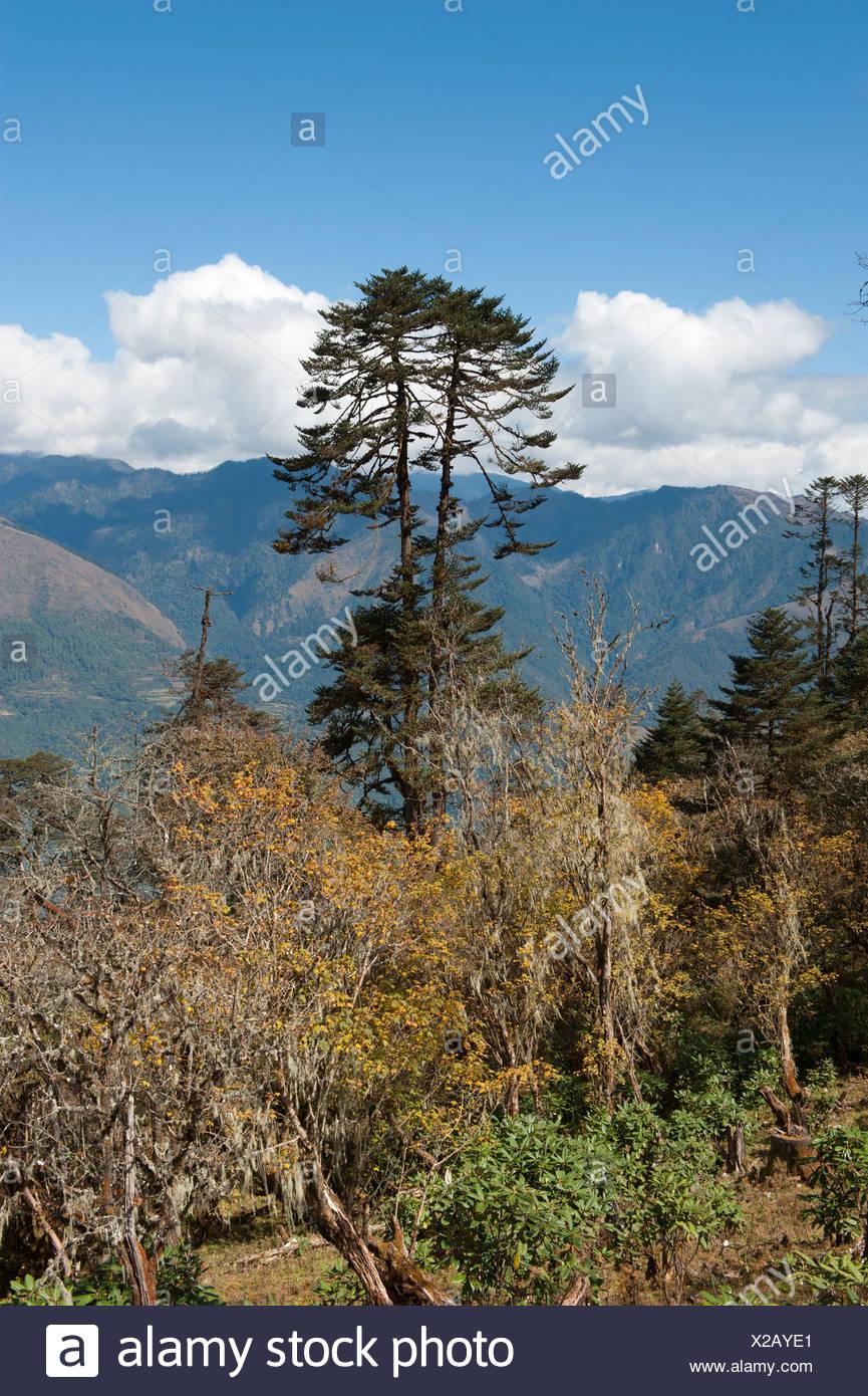 Mountain landscape, forest with a tall fir tree (Abies) near Gangtey, Gangteng, Phobjika Valley, the Himalayas - Stock Image