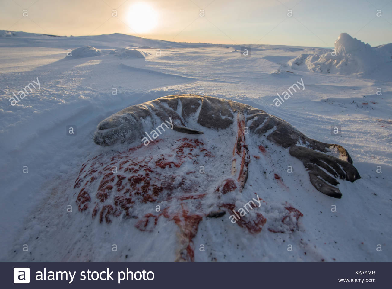 Weddell seal fetus and placenta on the surface of the Ross Sea. - Stock Image