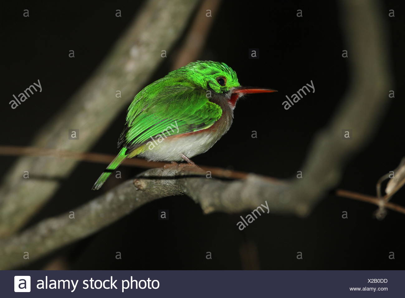 A narrow-billed today, Todus angustirostris, perching on the branch of a tree. - Stock Image