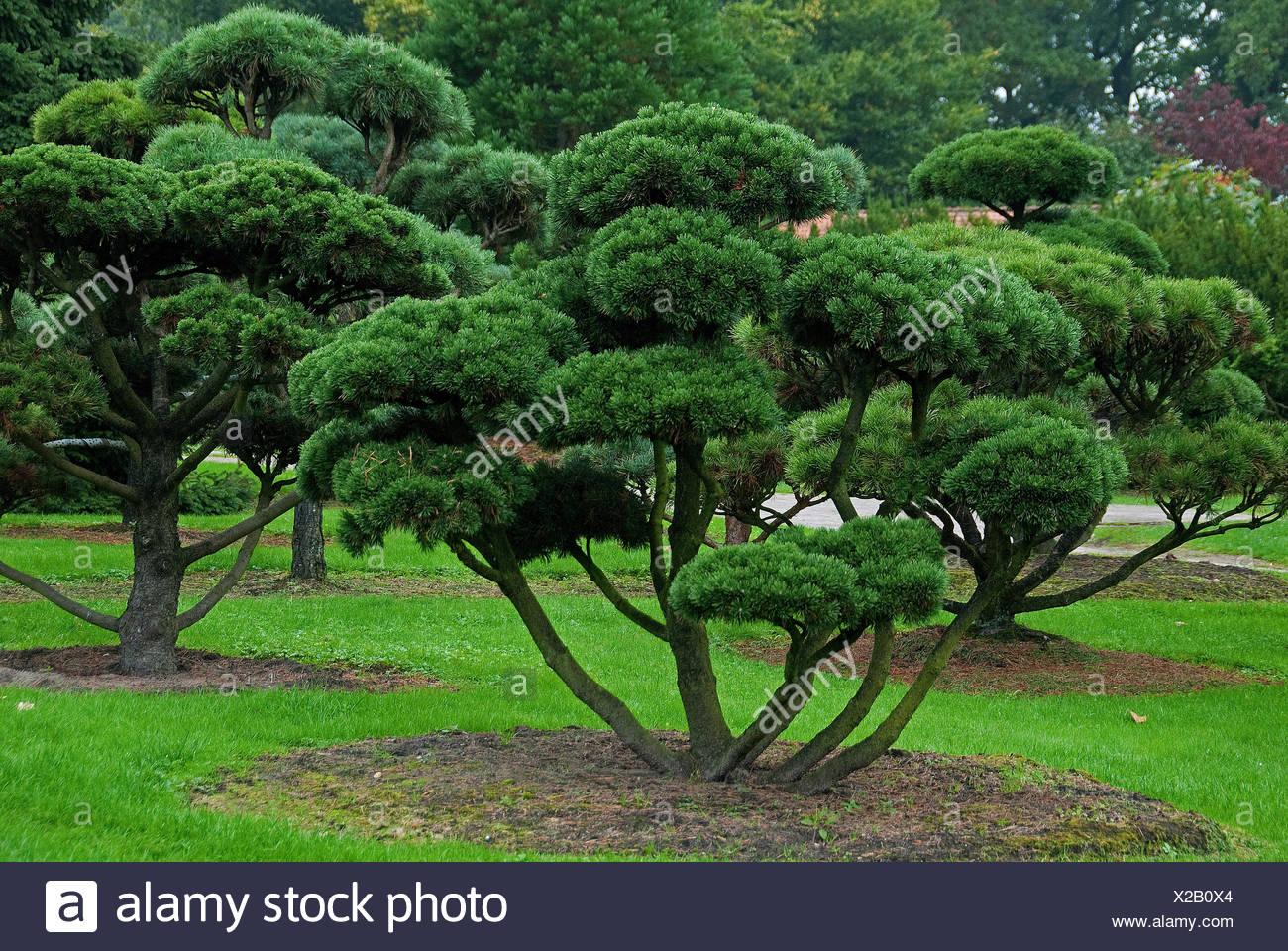 Mountain pine, Mugo pine (Pinus mugo 'Gnom', Pinus mugo Gnom), cultivar Gnom - Stock Image