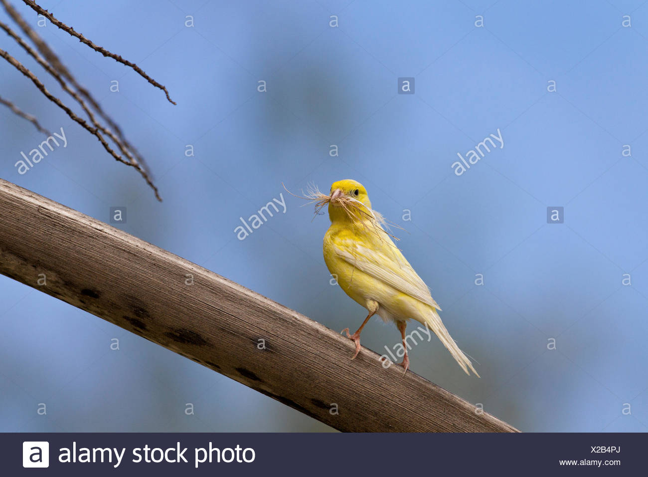 Canary (Serinus canaria domestica) with nesting material Sand Island Midway Atoll National Wildlife Refuge Northwest Hawaiian - Stock Image
