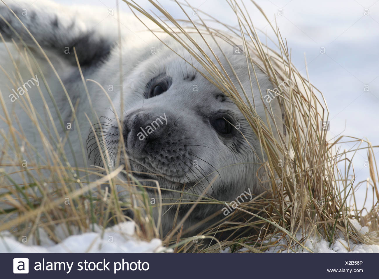 Gray Seal Pup on Helgoland - Stock Image