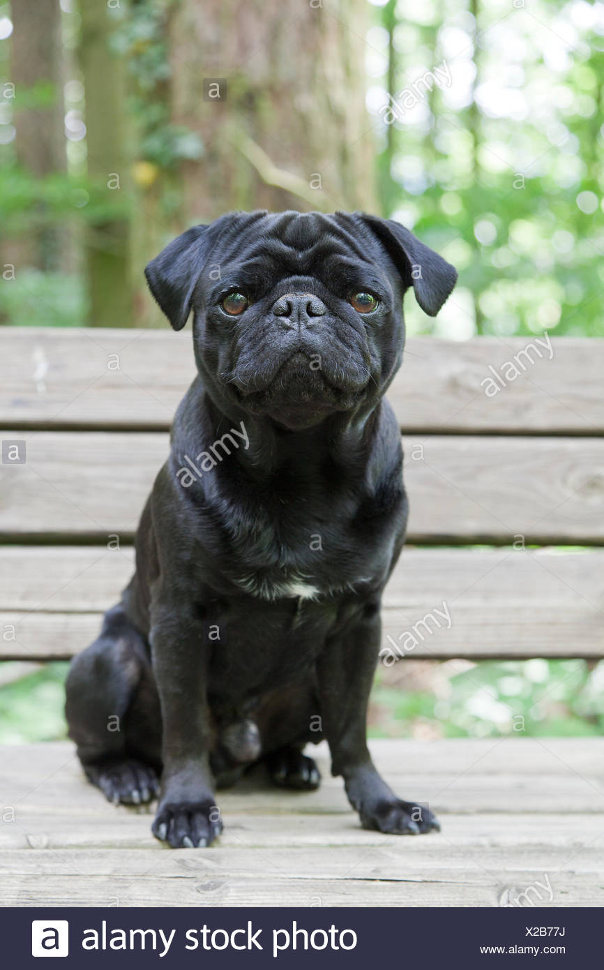 Black Pug on bench in forest - Stock Image