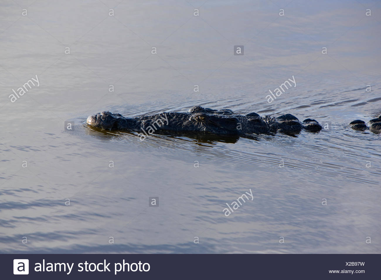 alligatoridae America american American alligator color image crocodiles crocodiles and allies everglades national park Florida - Stock Image