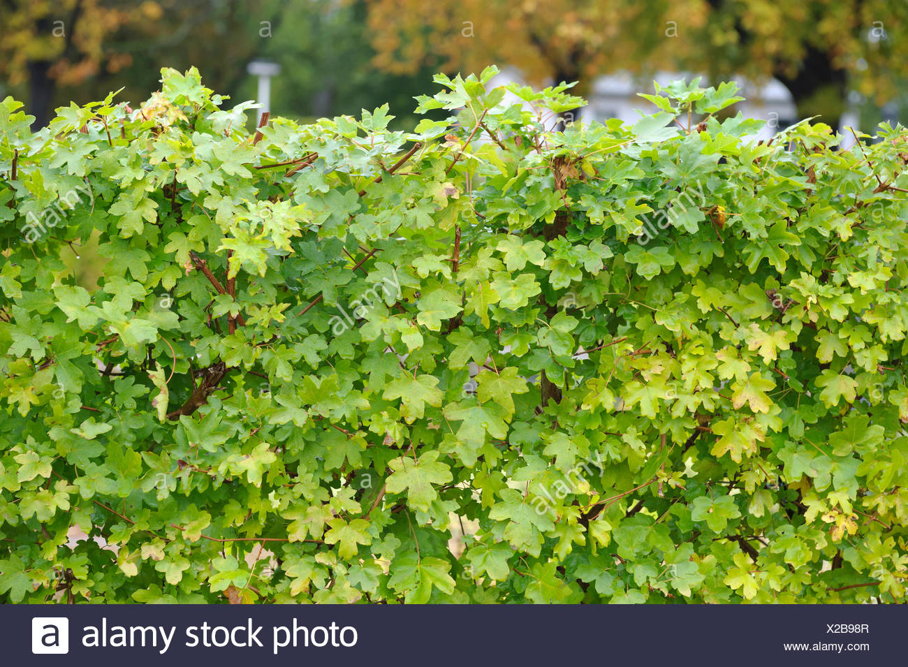 field maple, common maple (Acer campestre), maple hedge, Germany, Thueringen - Stock Image