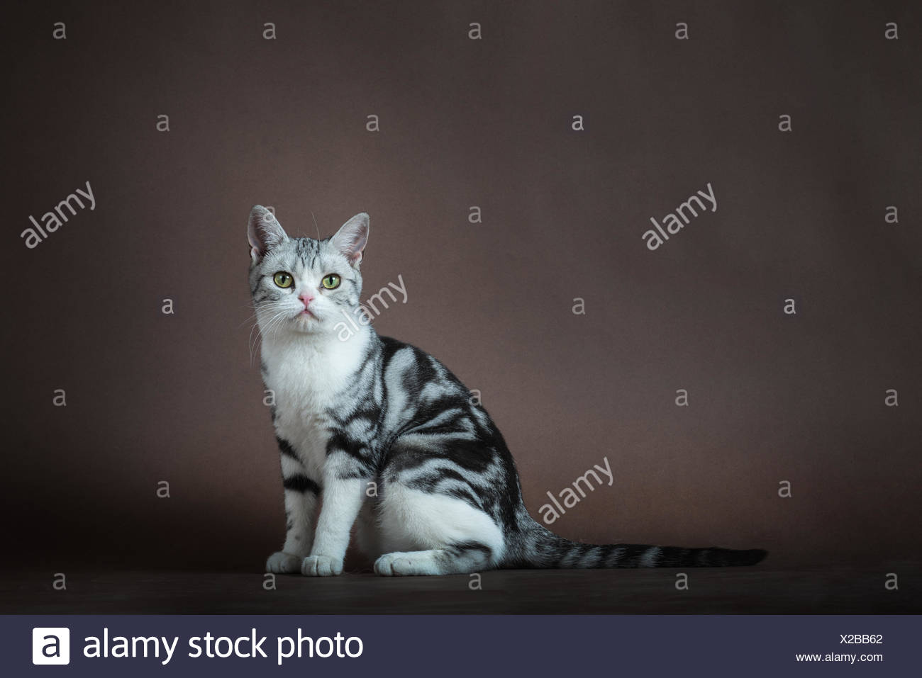 American Shorthair Orange Tabby Cat Stock Photos & American ...