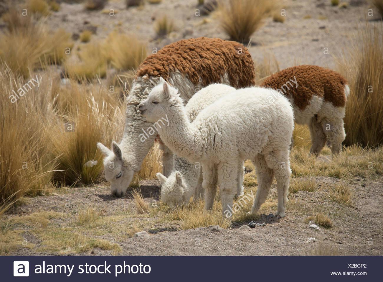 Alpacas in the Zona de Vicunas, Stock Photo