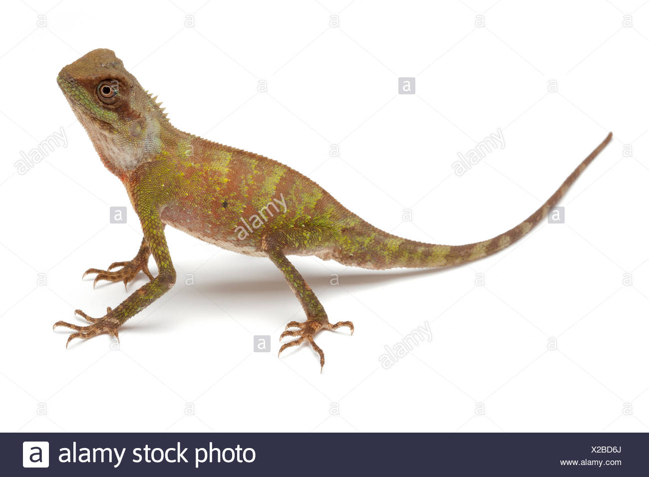 Scale-bellied Tree Lizard on white background - Stock Image
