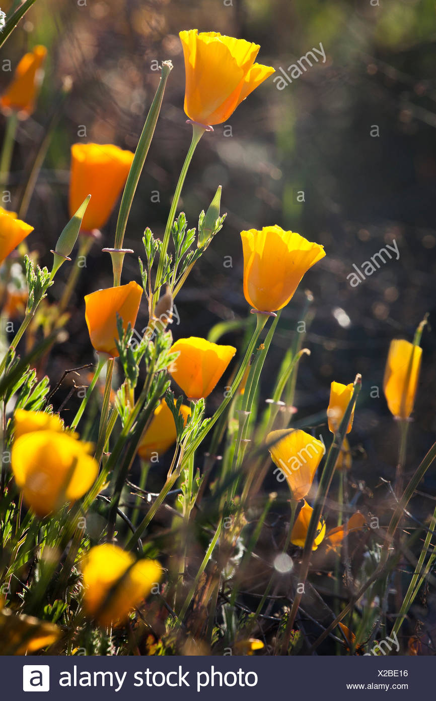 Close Up Of California Poppies Eschscholzia Californica