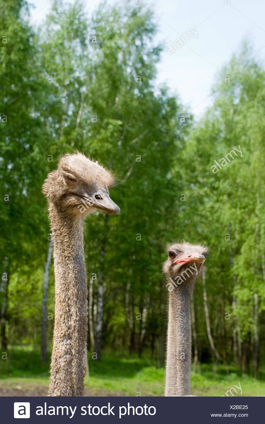 Portrait of ostriches on the nature - Stock Image