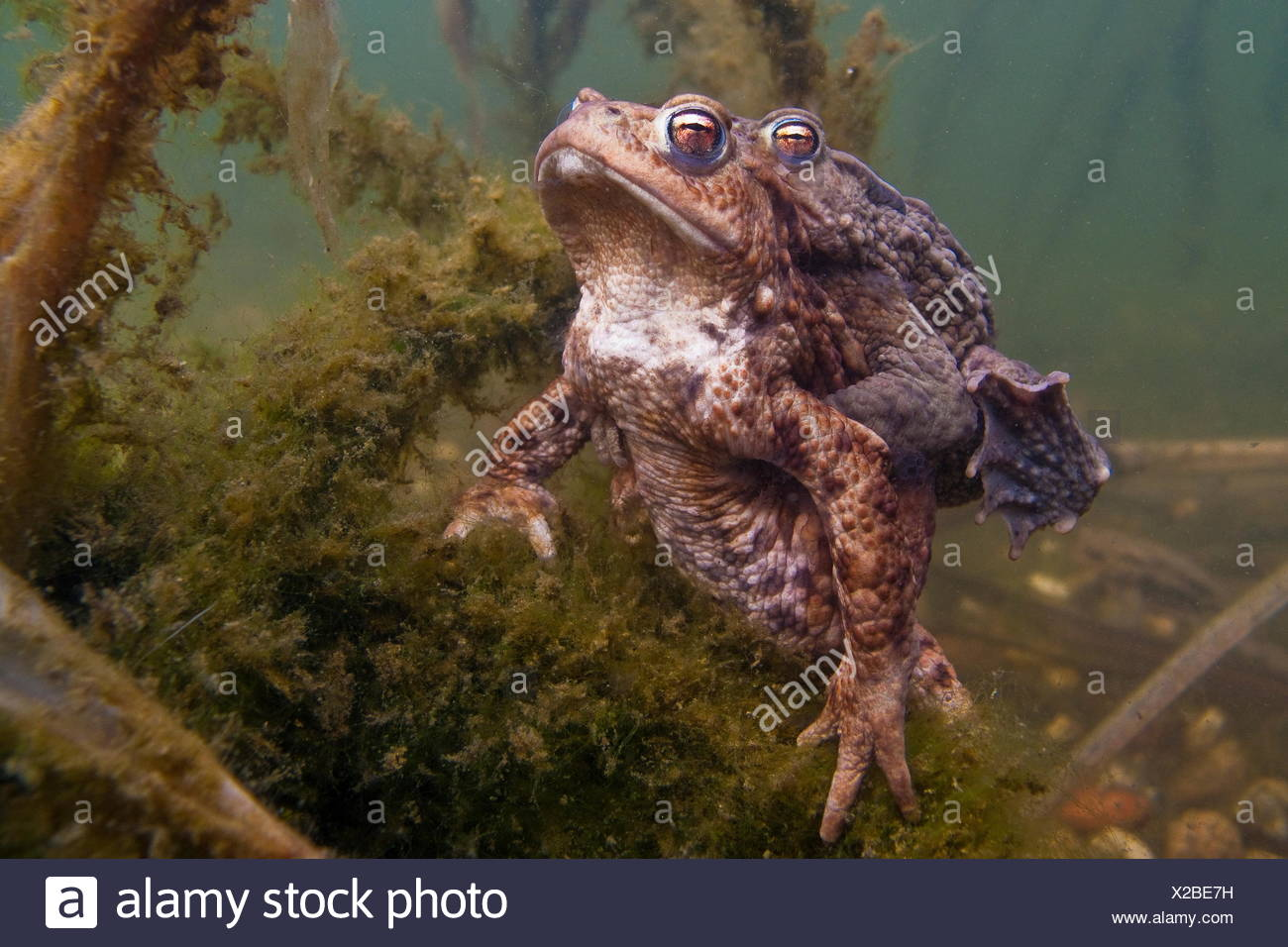 common toad, pairing, Germany / (Bufo bufo) - Stock Image