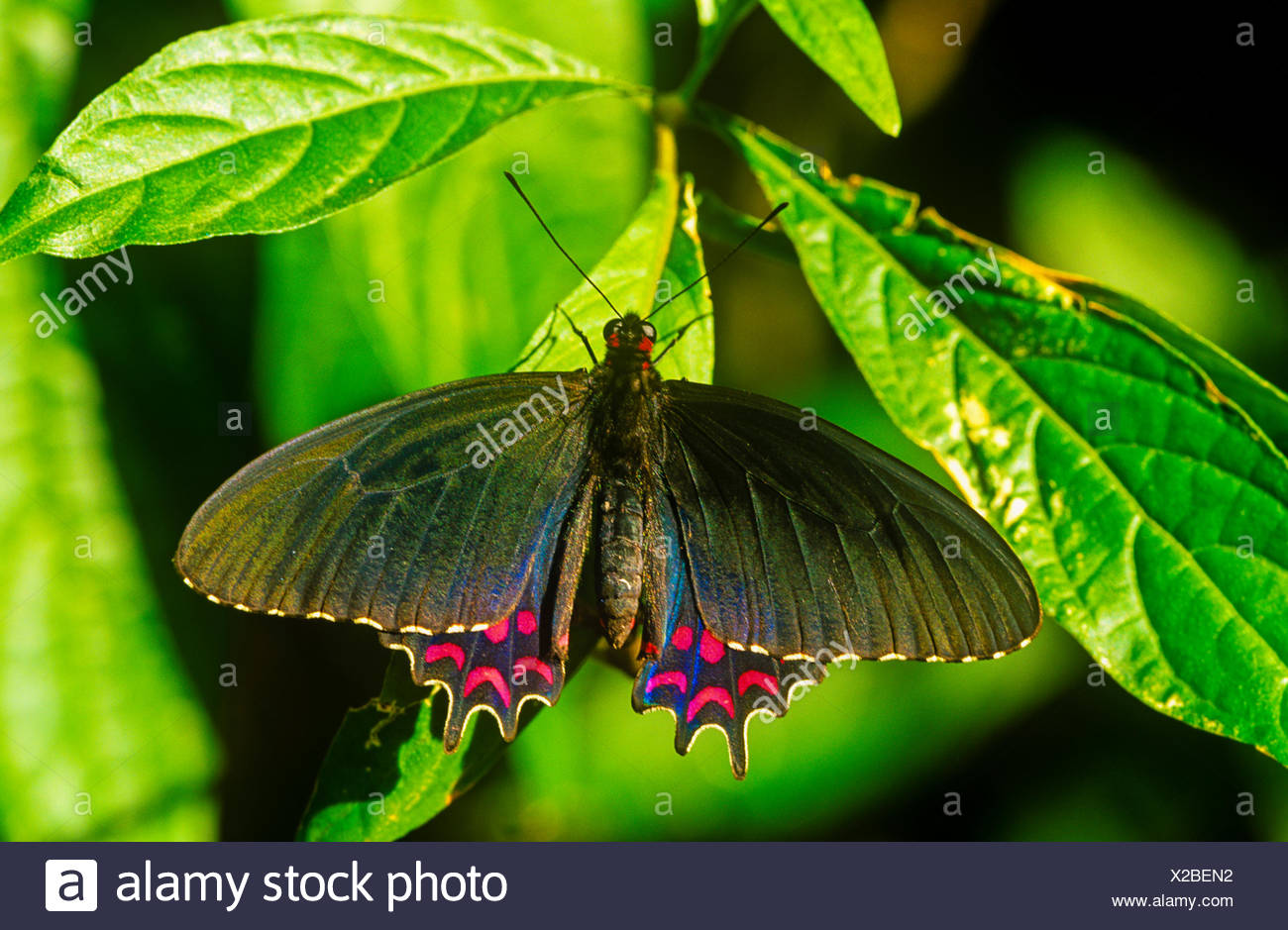 Pink-spotted Cattleheart Butterfly, (Parides photinus), male, dorsal view, NE & NW Mexico to Costa Rica - Stock Image
