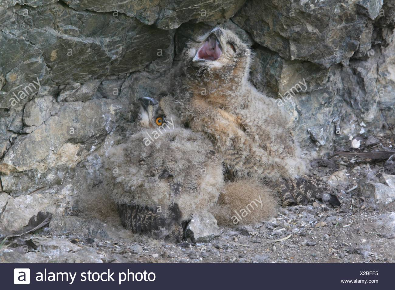 young Eurasian eagle owls - Stock Image