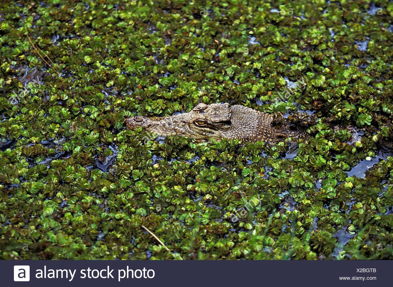 Australian Saltwater Crocodile or Estuarine Crocodile, crocodylus porosus, Adult camouflaged, Australia - Stock Image