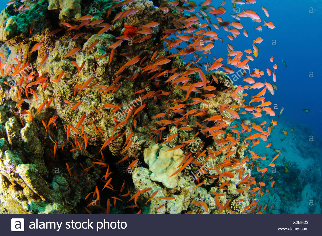 Underwater photography of a shoal of fish swimming near a coral reef in the Red Sea Aqaba, Jordan - Stock Image