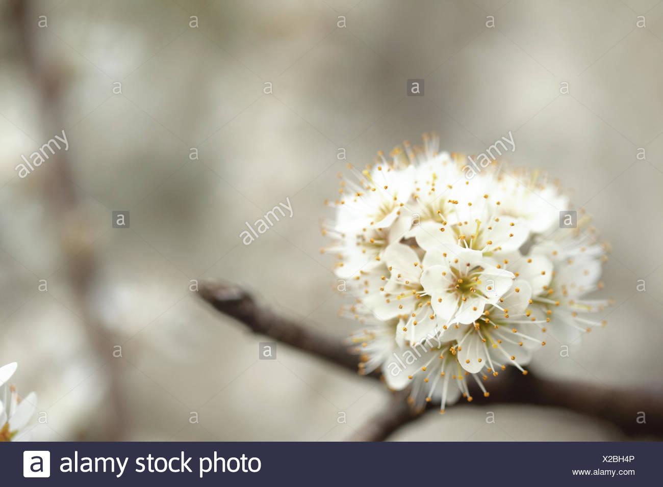Blackthorn, Prunus spinosa, develops flowers before leaf development. - Stock Image
