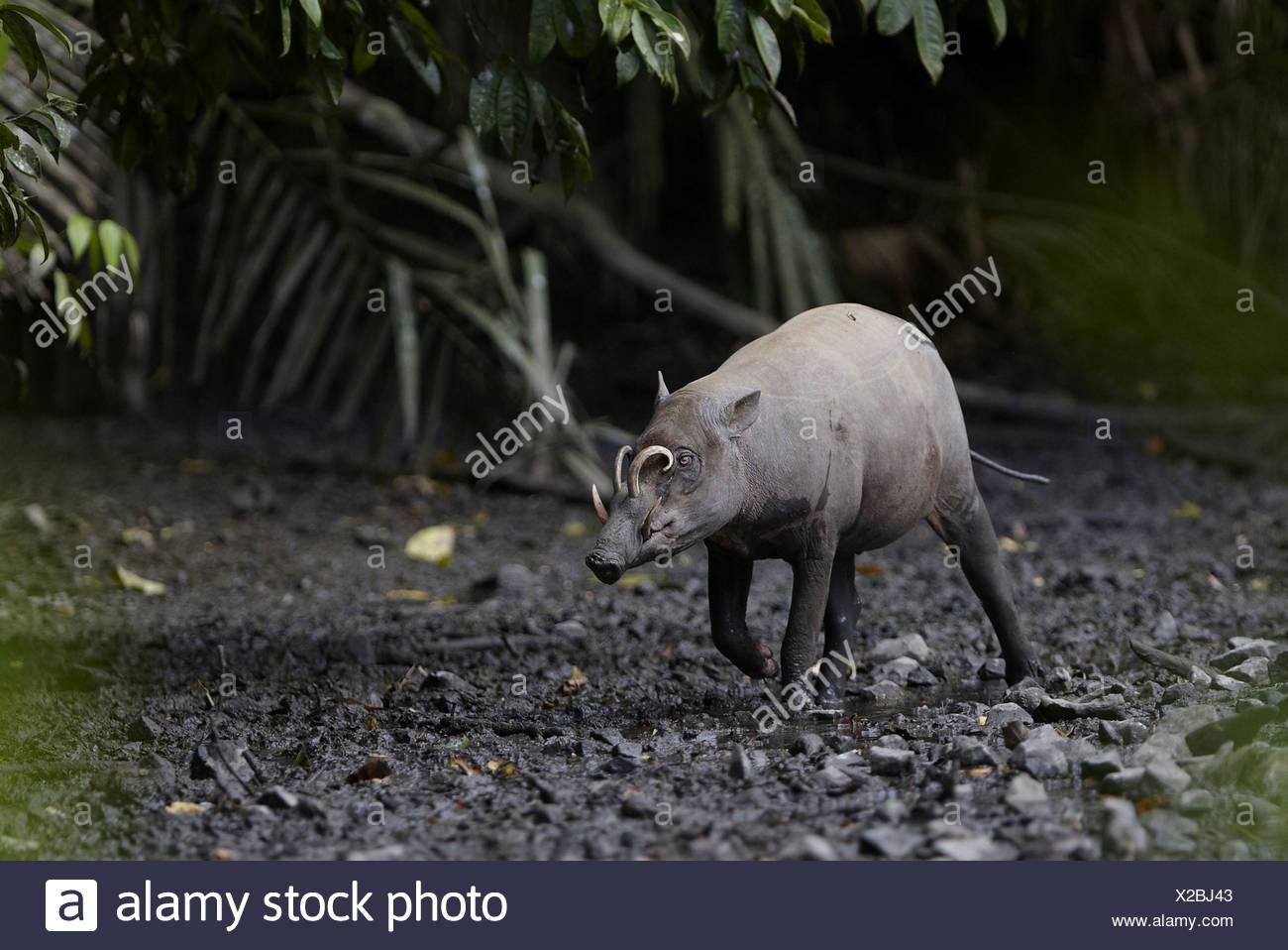 North Sulawesi Babirusa (Babyrousa celebensis) adult male, walking in mud at salt lick, Nantu Reserve, Sulawesi, Indonesia - Stock Image