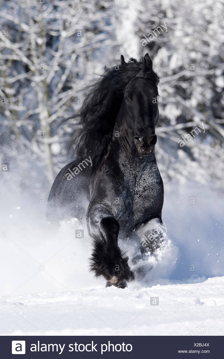 Friesian Horse Black Stallion Galloping Through Snow Germany Stock Photo Alamy