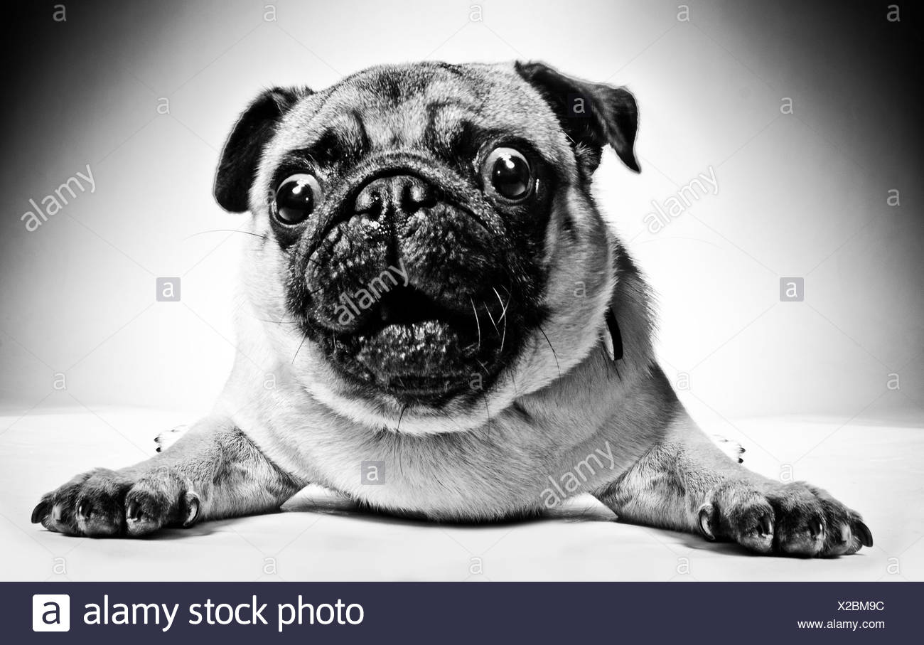 Black and white closeup portrait of a pug with large staring protruding eyes and a cute frown lying facing the camera - Stock Image