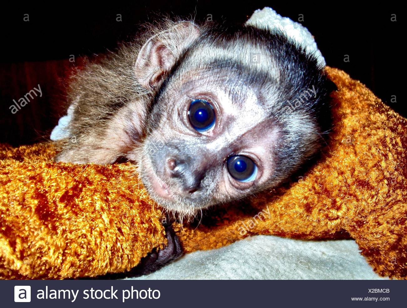 Portrait Of Young Monkey - Stock Image
