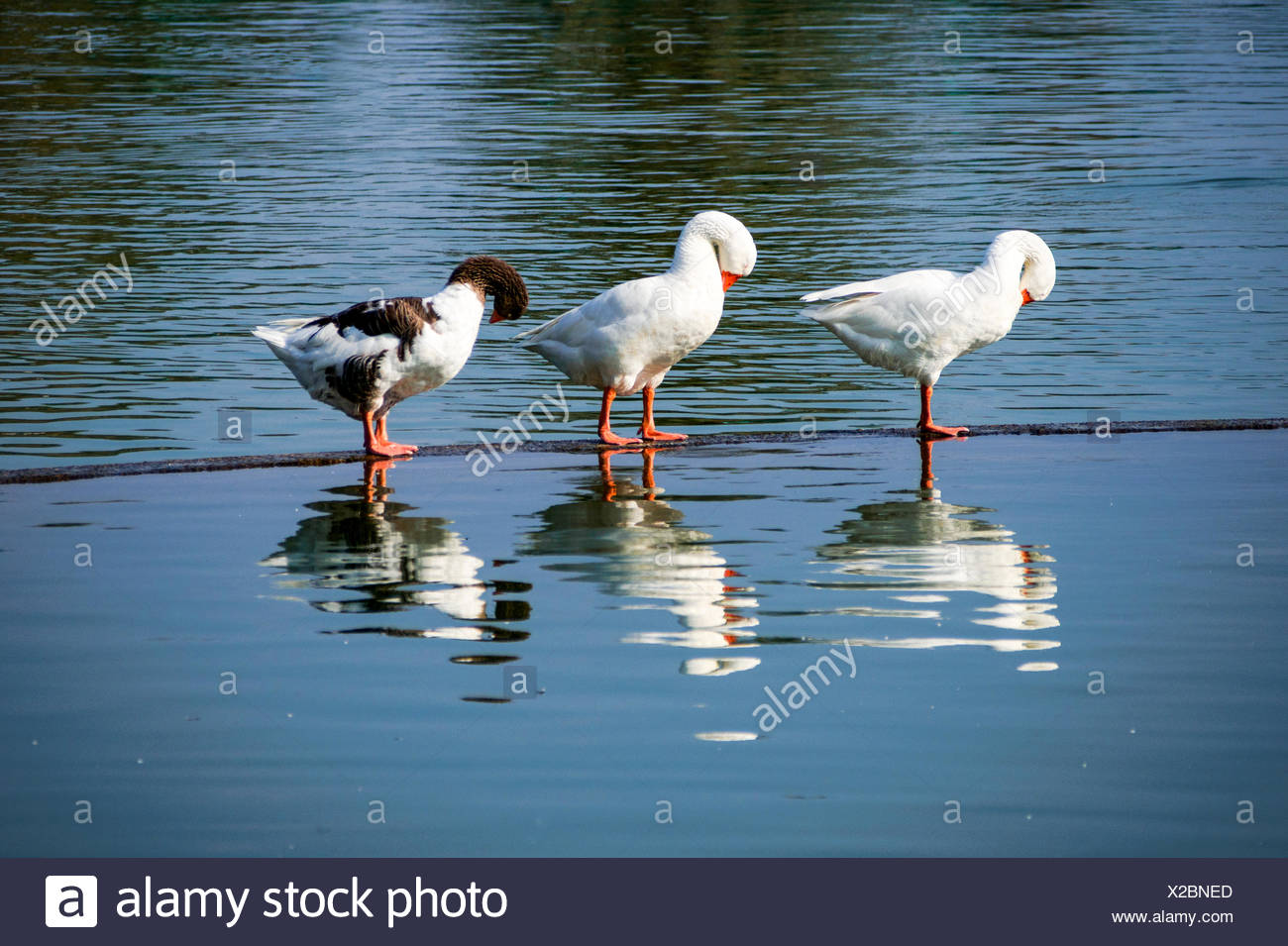 Three ducks stand in water with bowed heads - Stock Image