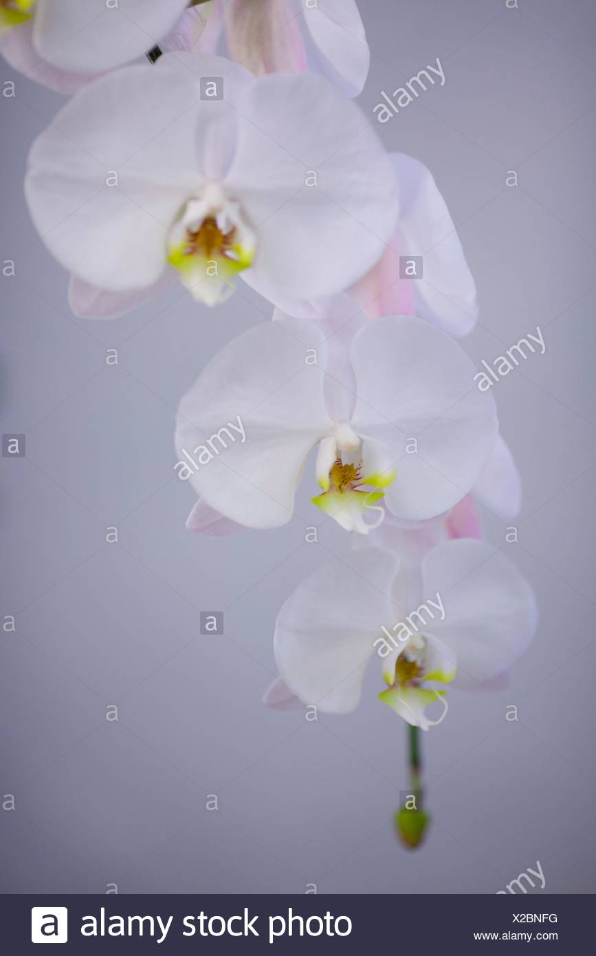 Phalaenopsis Peach Infussion Hybrid New Orchid Orchids