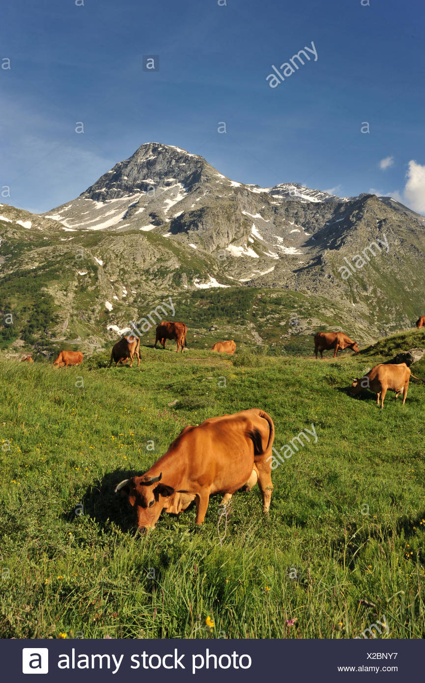 Cows in mountain - Stock Image