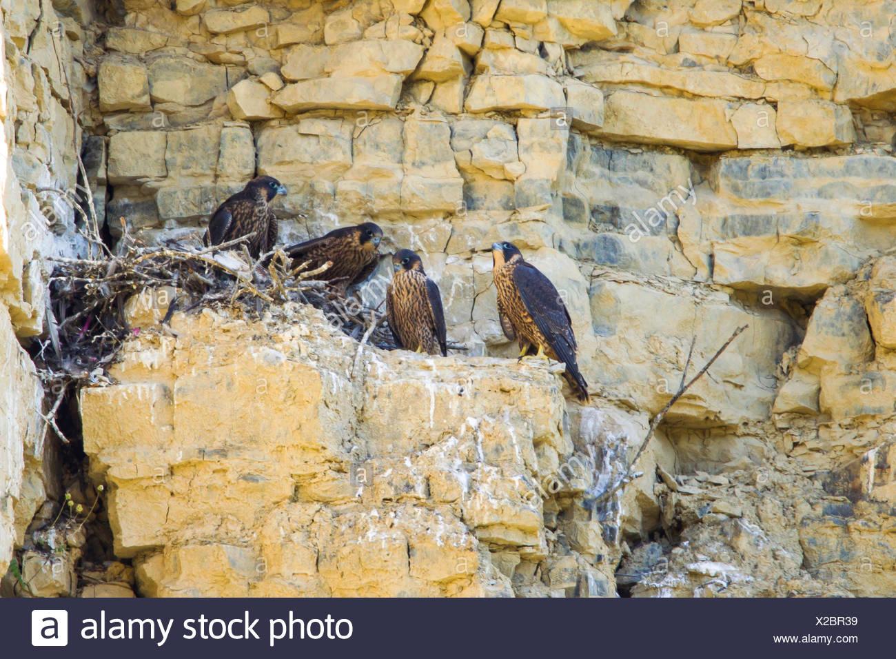 Wanderfalke, Wander-Falke (Falco peregrinus), Junge im Horst, Deutschland   peregrine falcon (Falco peregrinus), squeeker in the - Stock Image