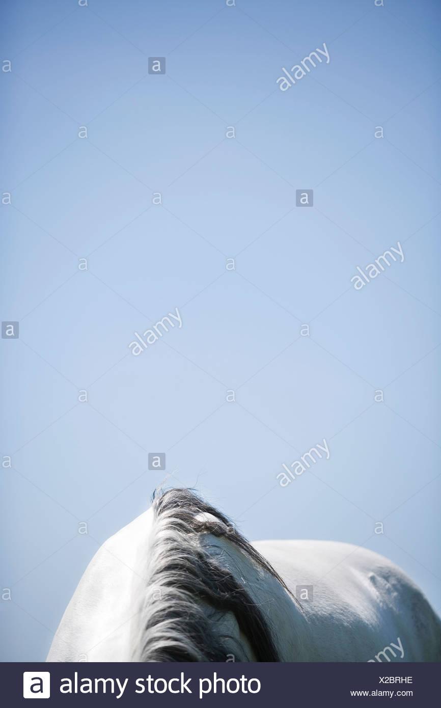 detail of white horse - Stock Image