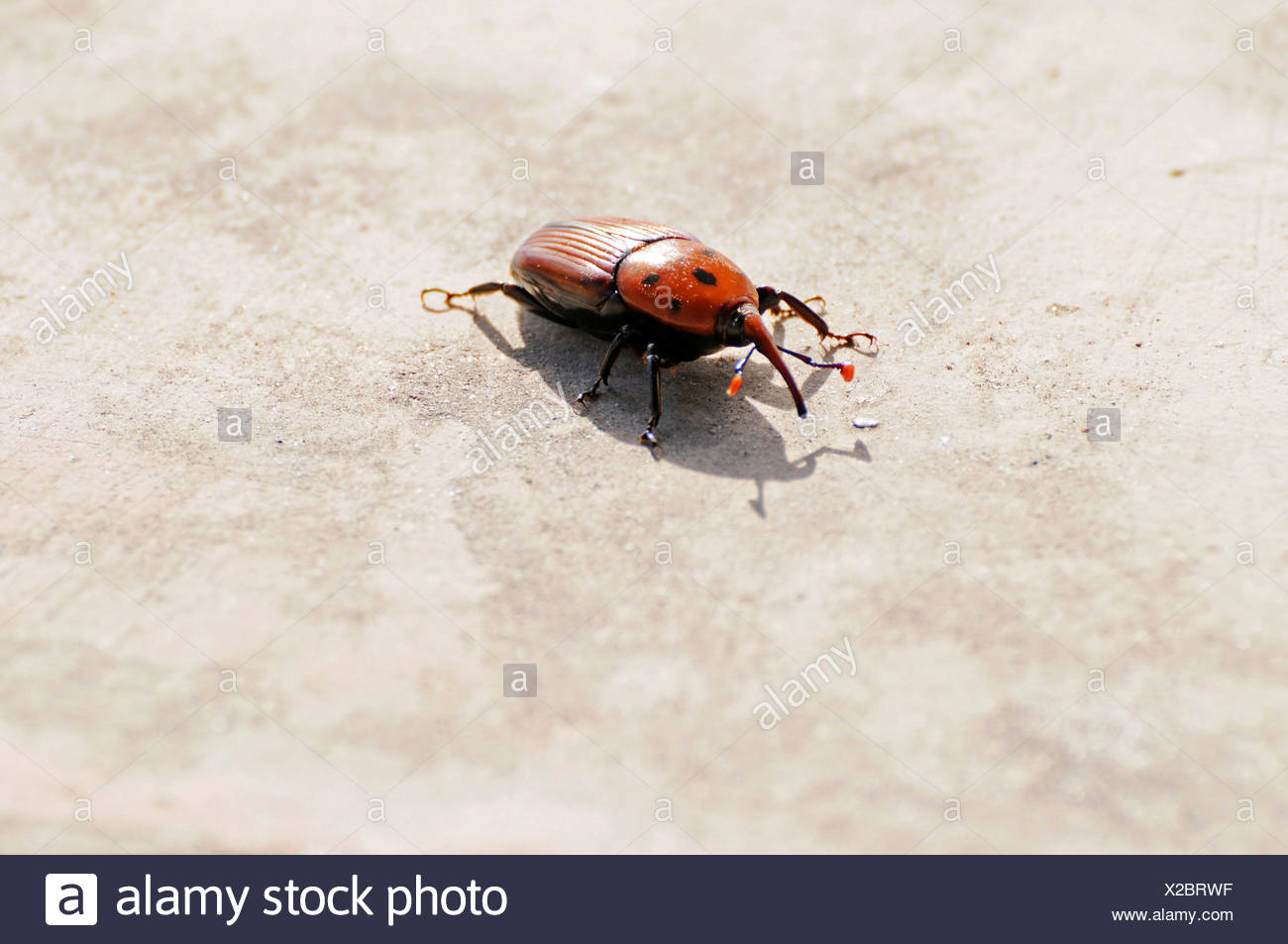 Red Palm Weevil Stock Photos & Red Palm Weevil Stock Images