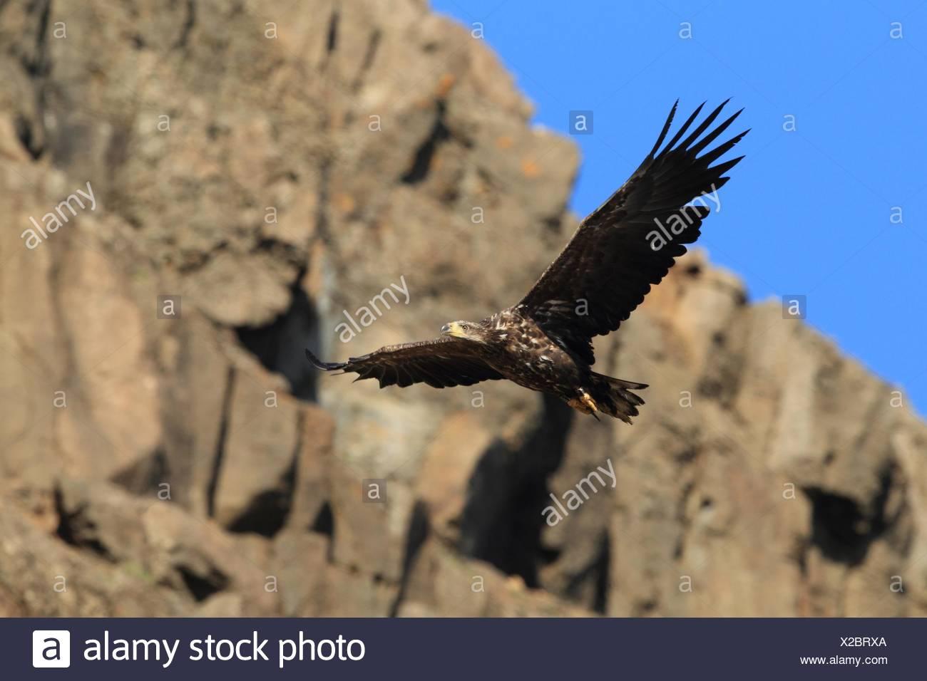 white-tailed sea eagle - Stock Image
