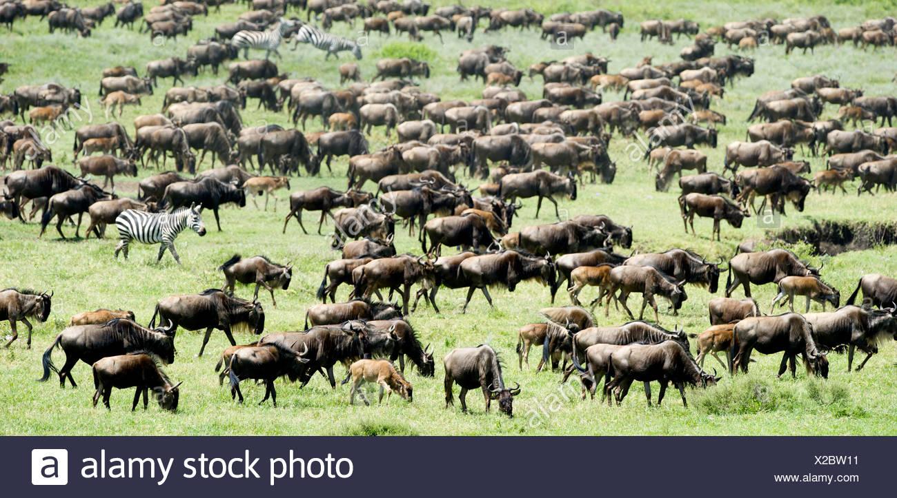 Massing herds of White-bearded Wildebeest on migration, Ndutu, Serengeti, Tanzania Stock Photo