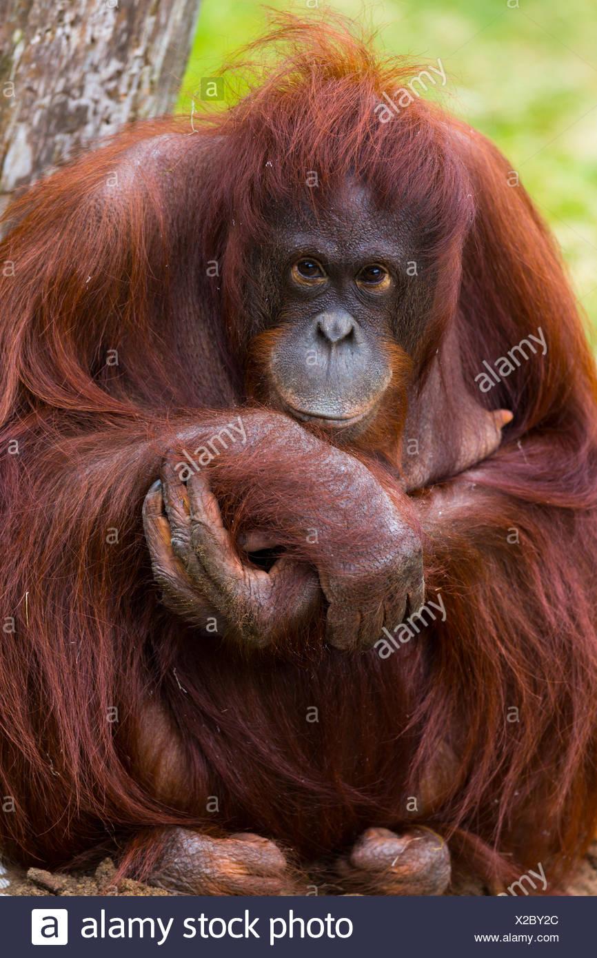 Female Bornean Orang-utan - Stock Image