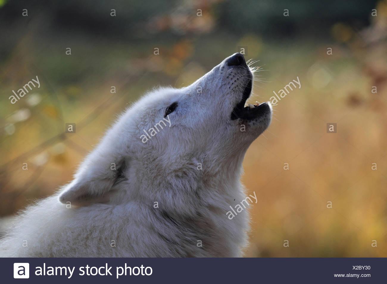 Tundra wolf howls, - Stock Image