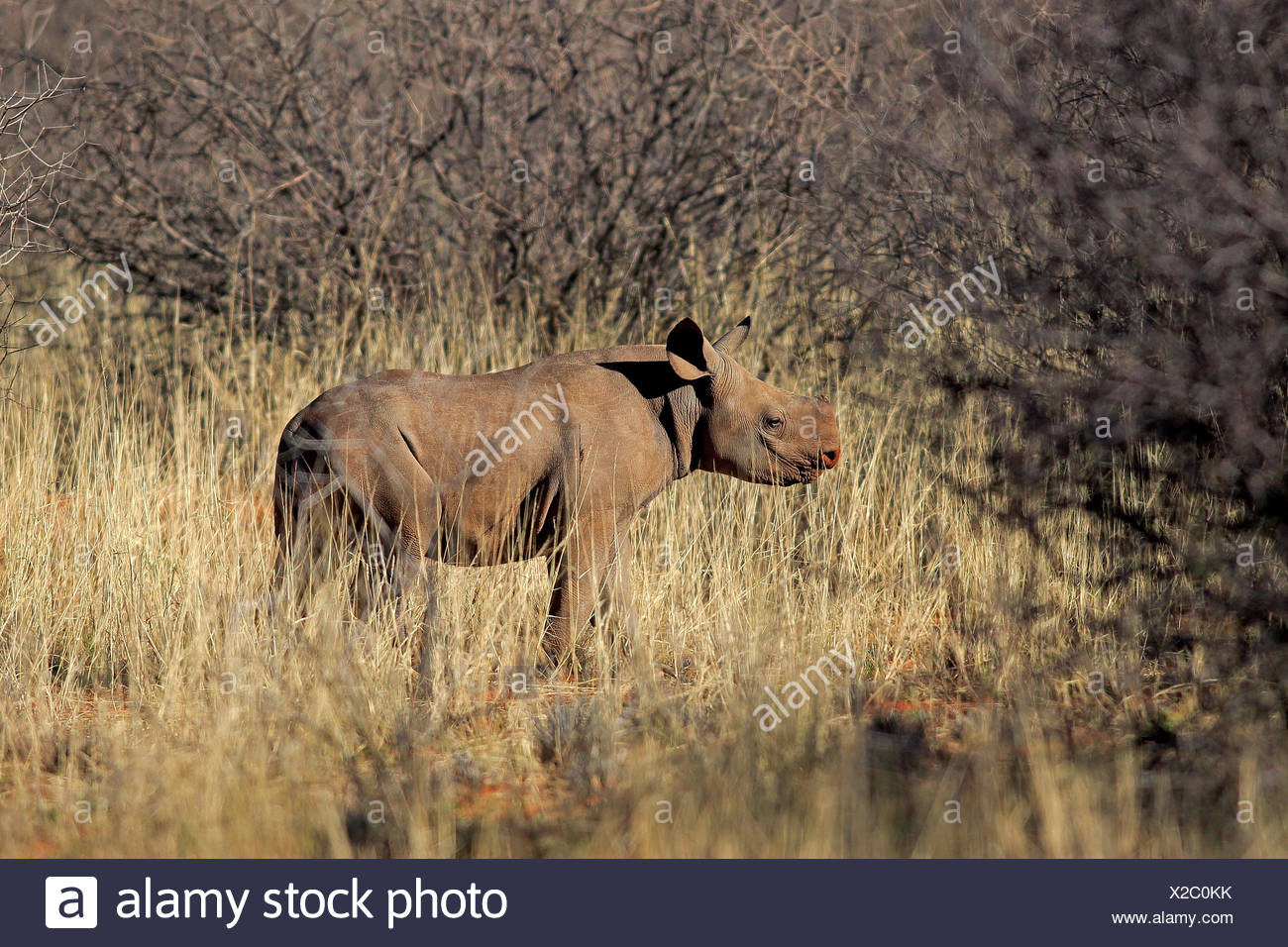 Black Rhinoceros, hook-lipped rhinoceros, young, Tswalu Game Reserve, Kalahari, Northern Cape, South Africa, Africa / (Diceros bicornis) - Stock Image