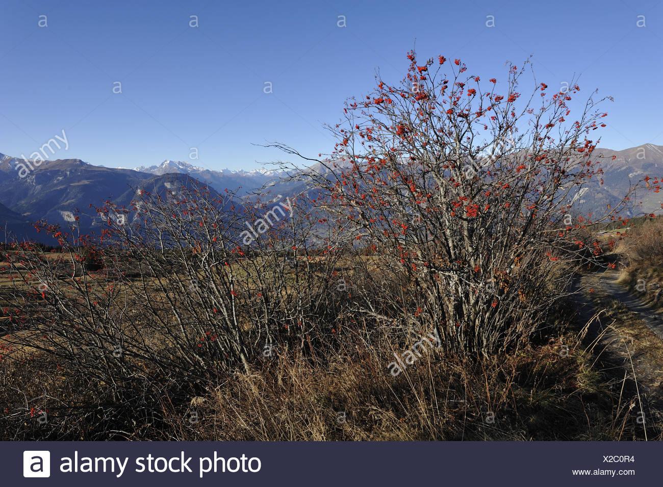 Mountain Ash, Sorbus aucuparia, tree, plant, Rosaceae, Heinzenberg, Canton, Grisons, Switzerland - Stock Image
