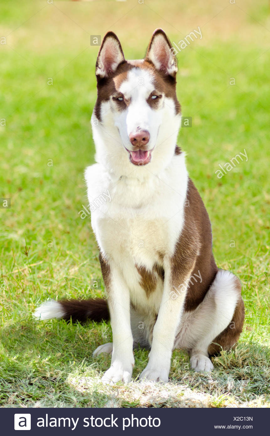 A Young Beautifu Copper Red And White Siberian Husky Dog Sitting On