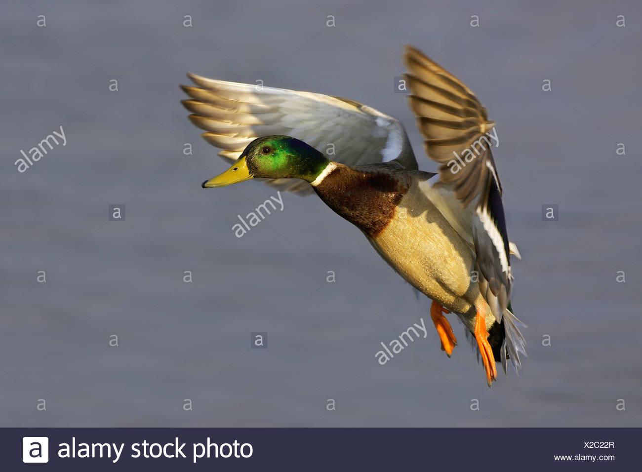 MALLARD (Anas Platyrhynchos) in flight over water. Lodmoor. Weymouth. Dorset. England - Stock Image