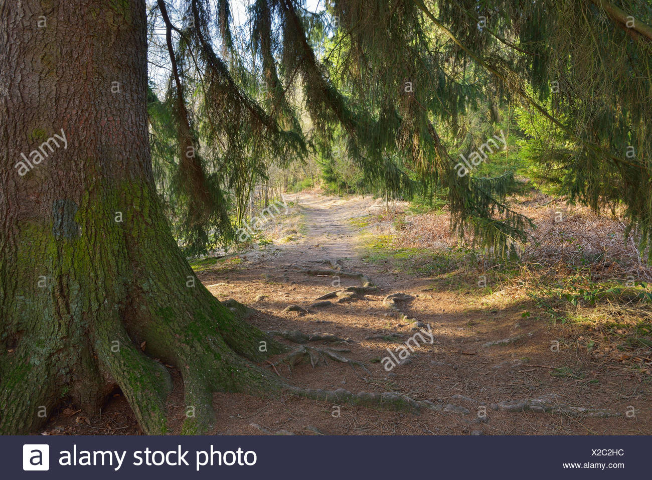 Conifer Tree with Path, Urwald Sababurg, Hofgeismar, Reinhardswald, Hesse, Germany - Stock Image
