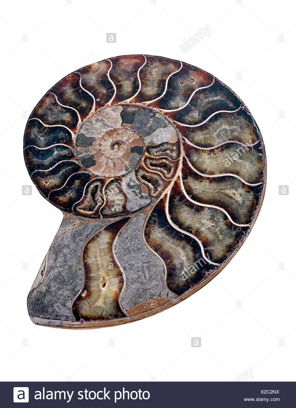 Ammonite. Polished sectioned ammonite fossil. Ammonites are extinct marine invertebrates. Stock Photo