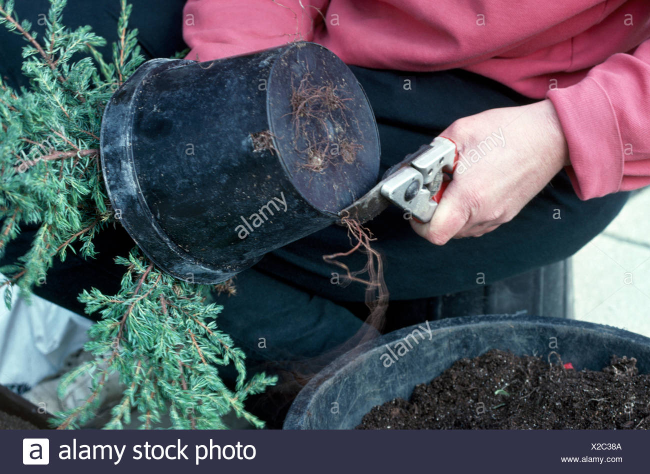 Close-up of a gardener knocking a small conifer out of a plastic pot before planting - Stock Image