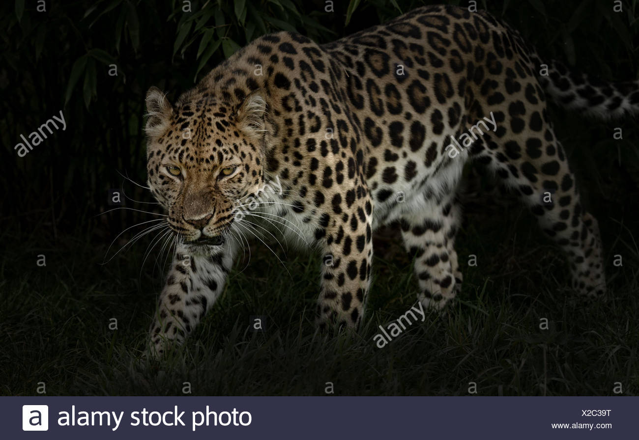 Amur Leopard, Panthera pardus orientalis, prowl by night - Stock Image