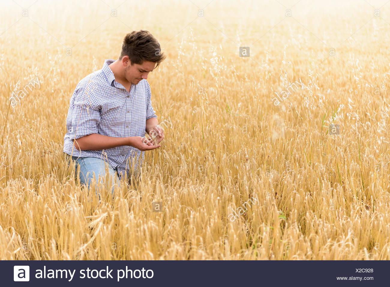 Farmer inspecting crop of organic barley in field - Stock Image