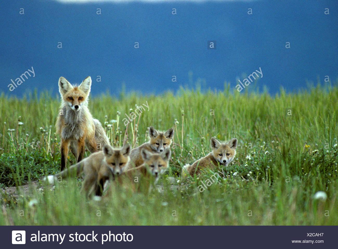 Red Fox Family Idaho Stock Photo 276866947 Alamy