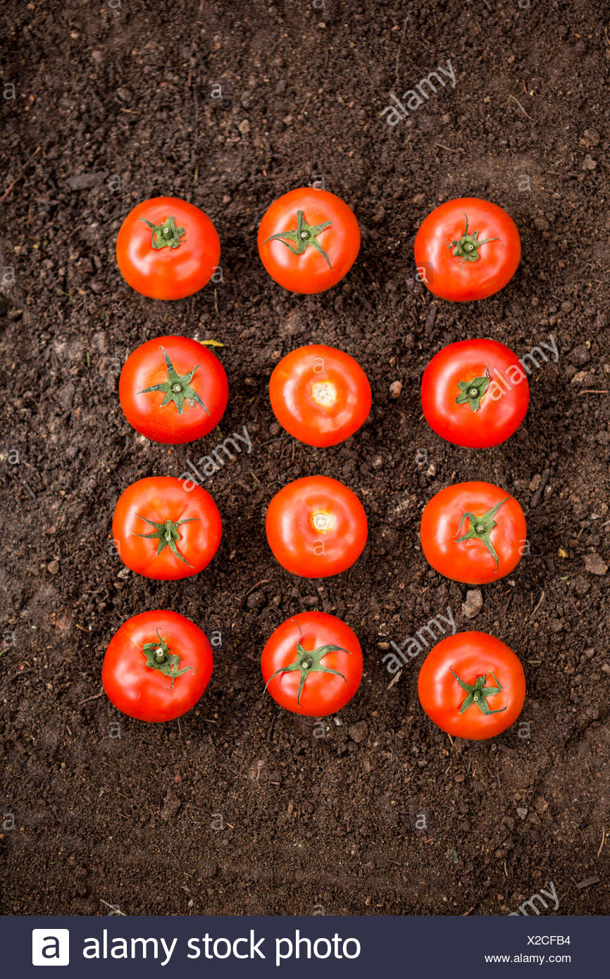 Overhead view of tomatoes on dirt at garden - Stock Image