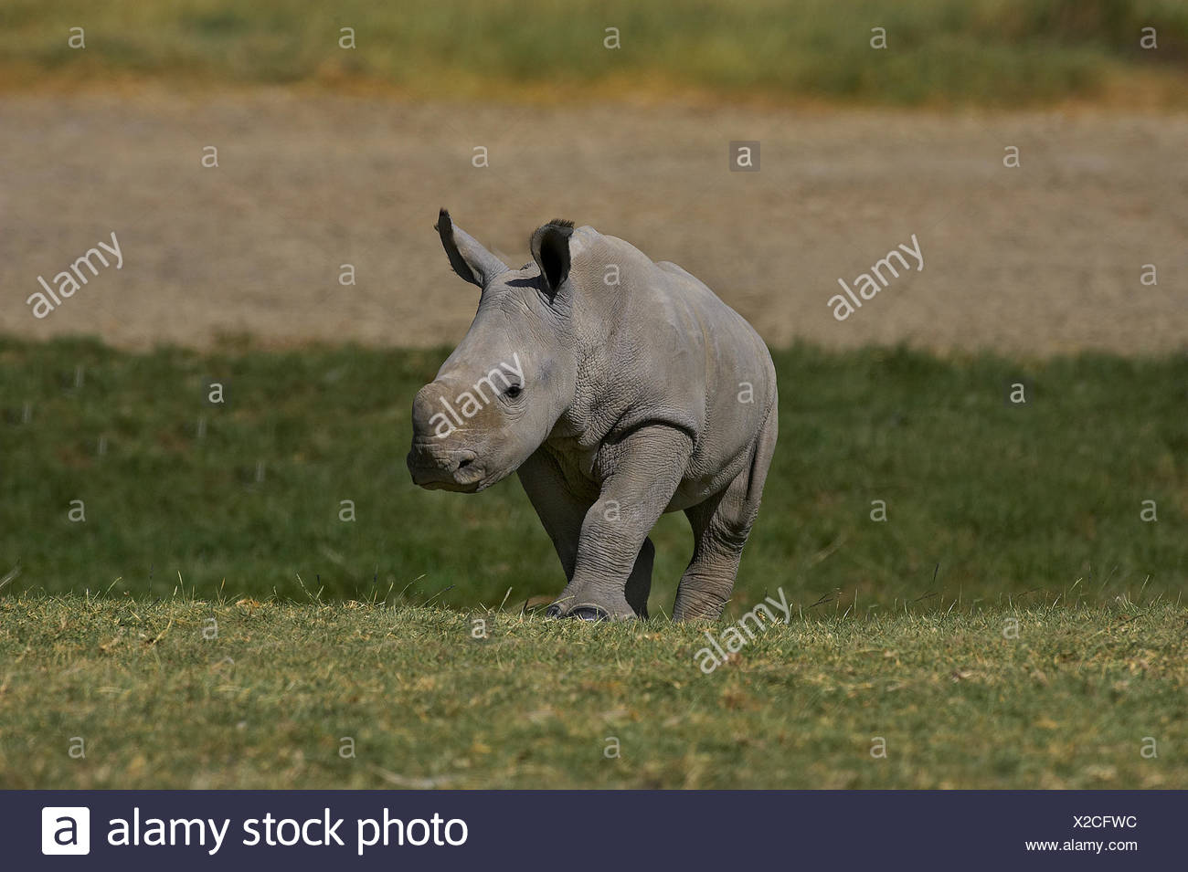 White Rhinoceros, ceratotherium simum, Calf, Nakuru park in Kenya Stock Photo