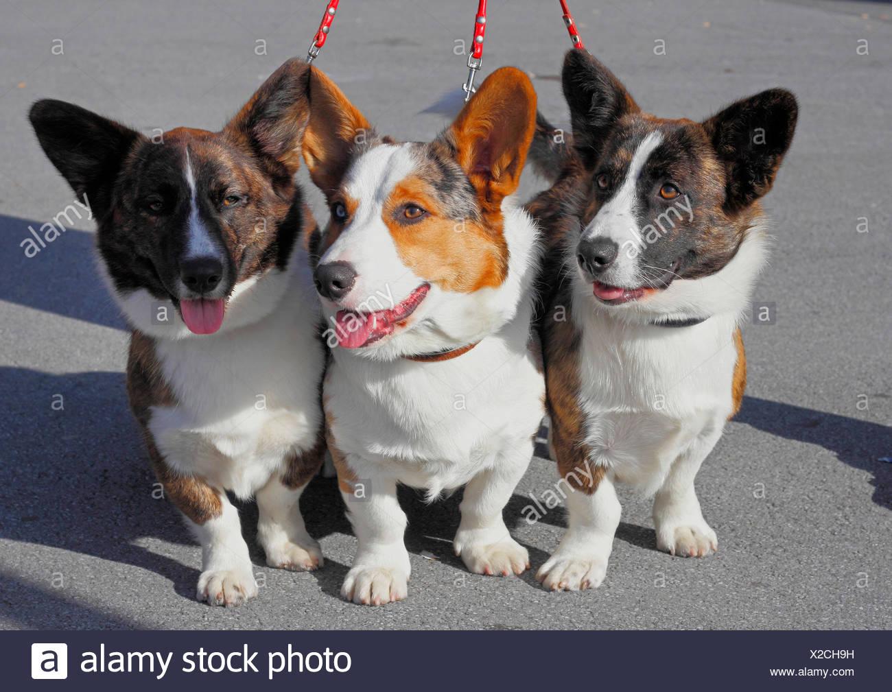 Welsh Corgi Pembroke (Canis lupus f. familiaris), three together leashed Welsh Corgi Pembrokes, Germany - Stock Image