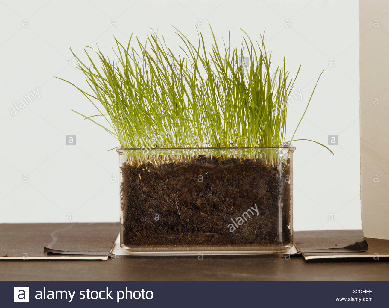 Grass growing in clear container - Stock Image